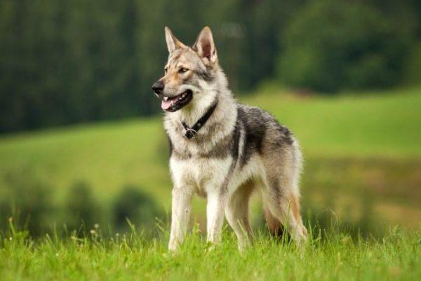 Cane lupo cecoslovacco conosci la razza Veterinario san francesco